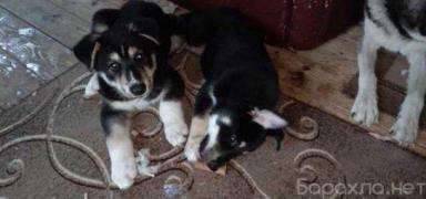 Отдам даром: щенки хаски-полукровки в Москве