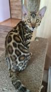 Продам кошенят бенгальської породи з доставкою