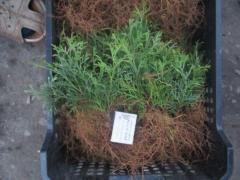 Rooted cuttings of boxwood,spirea, barberry