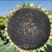 Sunflower Eurosem AVALON   AVALON OR7 +